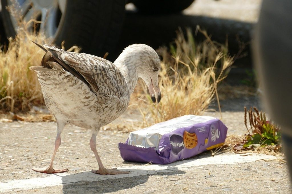 a seagull eating plastic